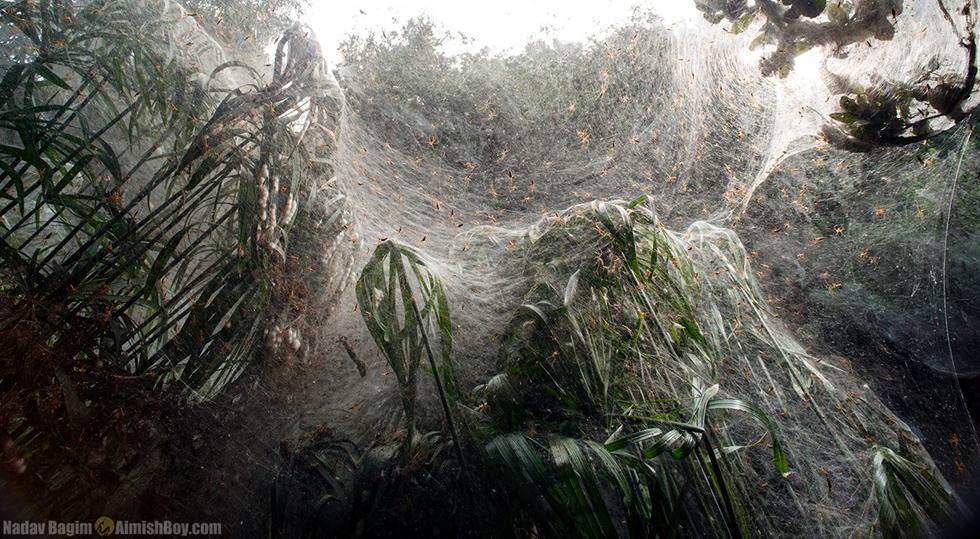 רשתות עכבישים מכסים צמחי גומא (צילום: נדב בגים)