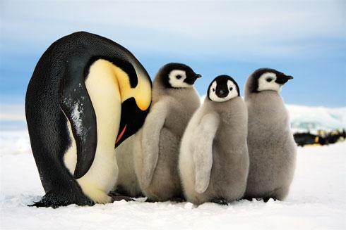 """""""הרגע הזה היה שווה הכל: אלפי פינגווינים קיסריים ניצבו לפניי עם הגוזלים שלהם. מאותו רגע לא הרגשתי קור או כאב"""" (צילום: דפנה בן נון)"""