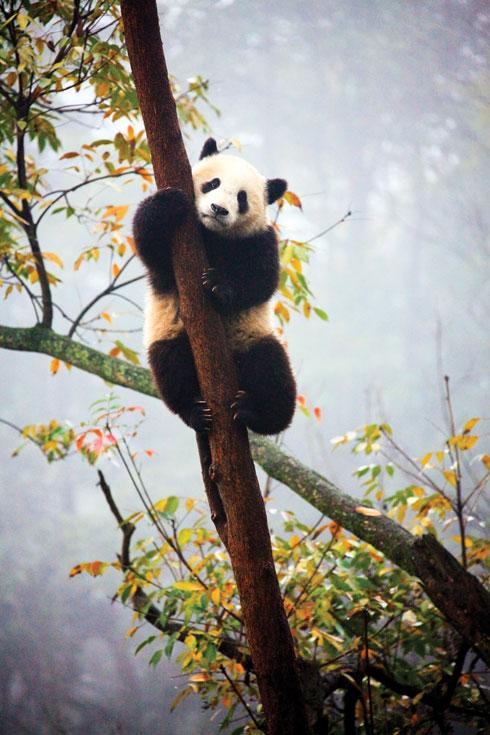 """""""האויב הכי גדול של דוב הפנדה הוא הם עצמם"""" (צילום: דפנה בן נון)"""