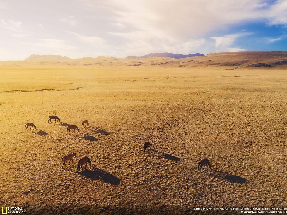 סוסים בטבע בקירגיזסטן (צילום: Anton Agarkov)