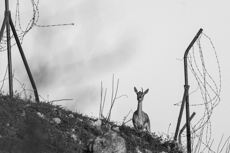 צבי מטייל בין שרידי גדרות תיל, מצפה נפתוח (צילום: אלעד בן כנען)