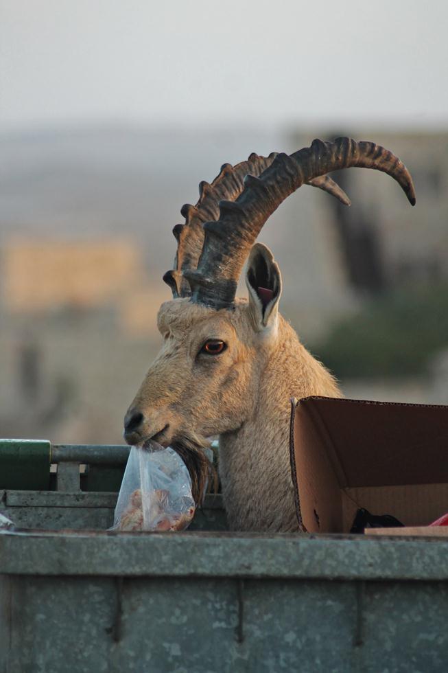 יעל נובי אוכל מפח זבל, מצפה רמון (צילום: תיקי עוזר)
