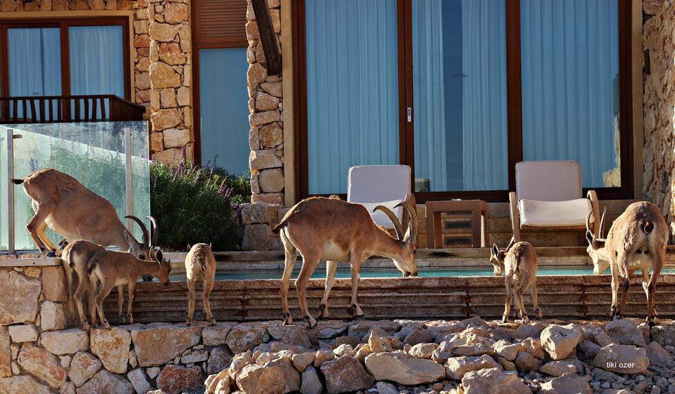 יעלים שותים מים מבריכה במלון בראשית, מצפה רמון (צילום: תיקי עוזר)