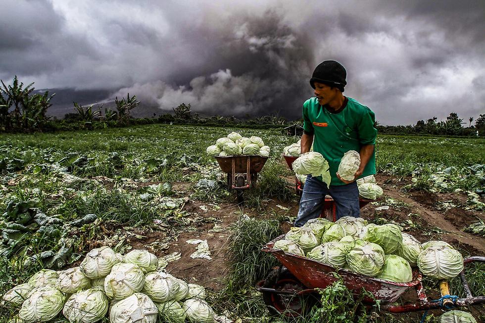 חקלאי קוטף כרובים על רקע התפרצות הר הגעש סינבונג, אינדונזיה (צילום: AFP) (צילום: AFP)