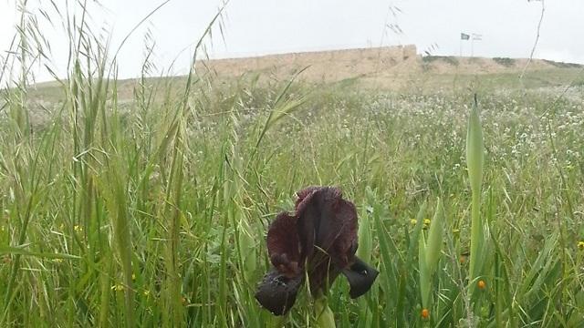 אירוס שחום על רקע המצודה בתל ערד (צילום: גבי צנטנר)