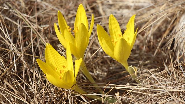 צמיחה צהובה מתוך האדמה (צילום: לבנת גינזבורג)