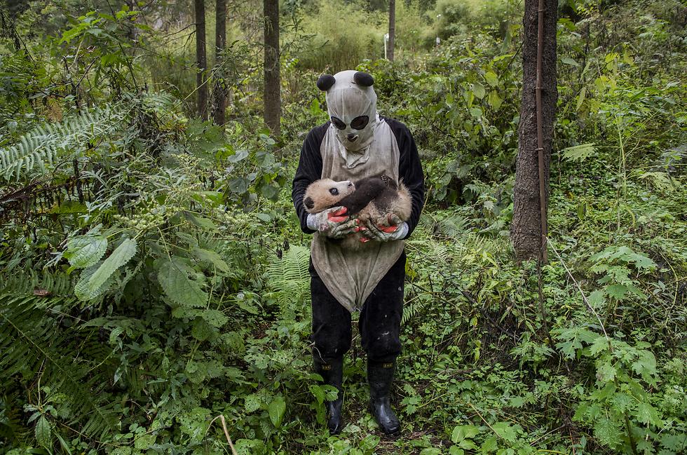 הפנדה מסווגת כמין שעתידו בסכנה. מאמצי סין לשיקום בית הגידול שלה הובילו לגידול באוכלוסייתה. כיום פנדות שנולדו בשבי מוחזרות לטבע. המטפלים לובשים תחפושת פנדה כדי למנוע ככל האפשר מגע בין הפנדות שעומדות להיות משוחררות לטבע לבין בני אדם. בצילום - מטפלת בגורה קטנה (צילום: Ami Vitale, National Geographic) (צילום: Ami Vitale, National Geographic)