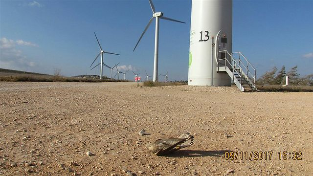 """בז מת ליד חוות טורבינות רוח (צילום: הדי בן-אליהו, רט""""ג)"""