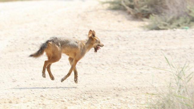 תן נגוע בכלבת באזור בית שאן (צילום: אופיר בן חמו)
