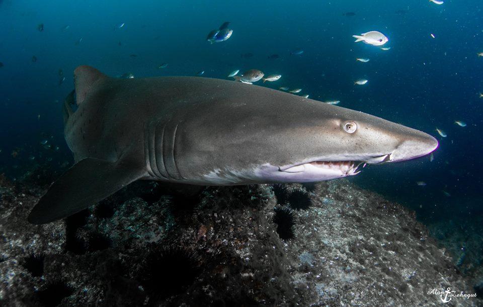 לשחות עם כרישים בעיירה סאות' ווסט רוק, אוסטרליה (צילום: אלון צנגוט) (צילום: אלון צנגוט)