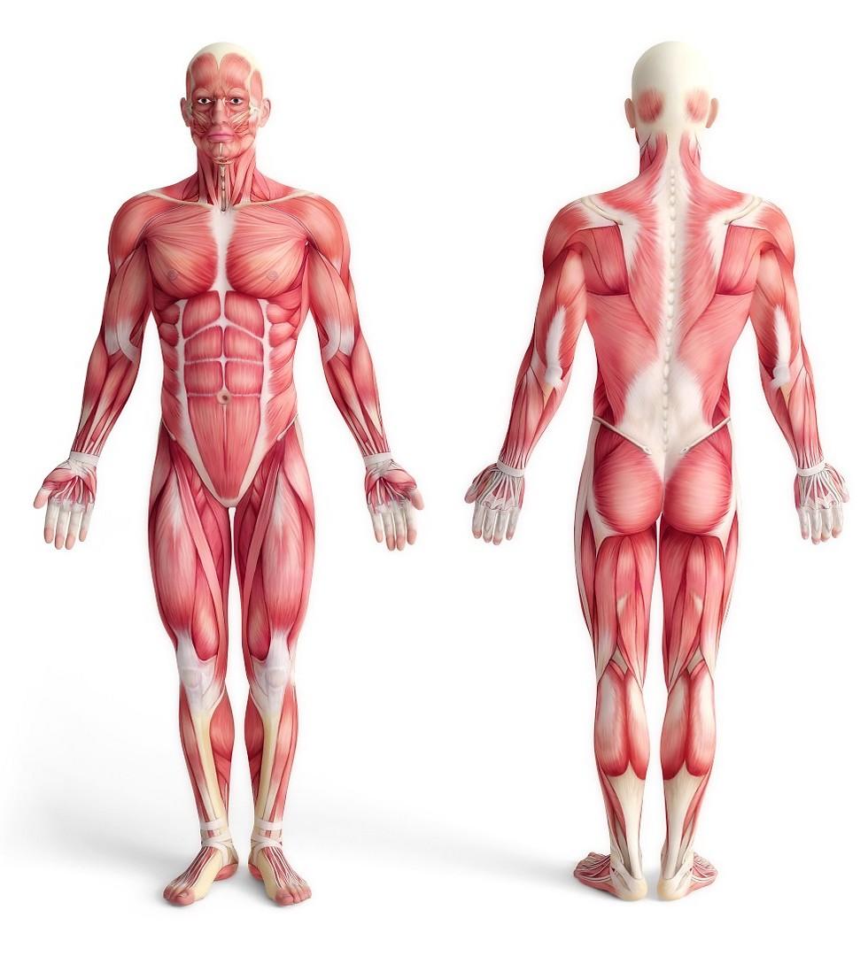 הרקמה הדינמית בגוף. שרירי השלד
