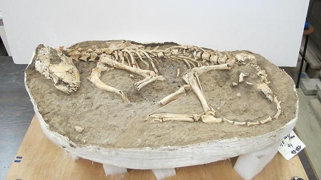 התעלומה עדיין לא נפתרה. שלד של כלב (צילום: רועי שפיר ואסף אורון) (צילום: רועי שפיר ואסף אורון)