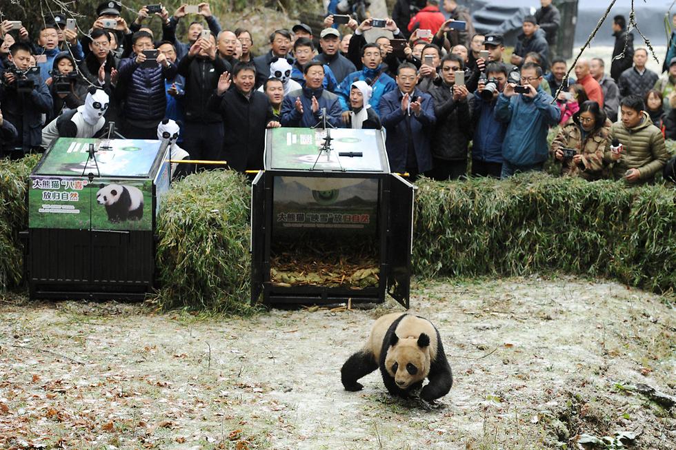 דובת הפנדה יינג שואה יוצאת מהכלוב ושבה לטבע בשמורה במחוז סצ'ואן, סין (צילום: רויטרס) (צילום: רויטרס)