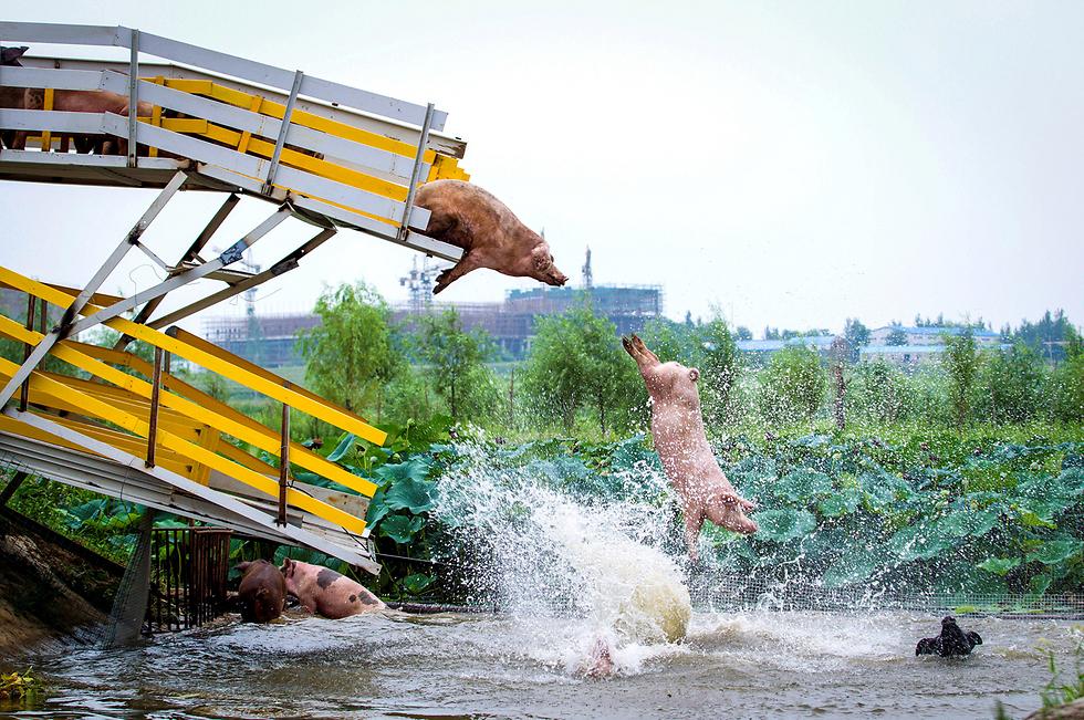 חזירים קופצים למים בנהר בסין (צילום: רויטרס)