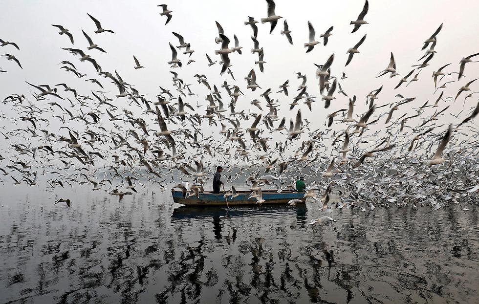 האכלת שחפים בנהר בהודו (צילום: רויטרס)