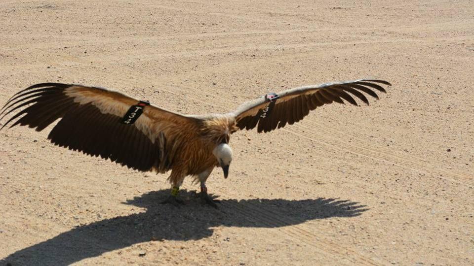 הנשר T34 שנתפס במצרים באוקטובר ושוחרר (צילום: באדיבות רשות הטבע והגנים)