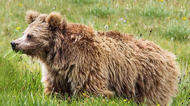 דוב חום. יטי הוא לא ()