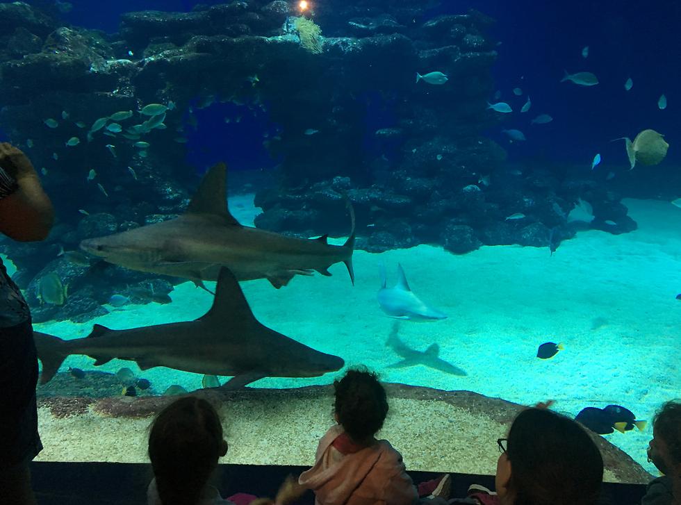 כרישים במצפה התת ימי (צילום: גלעד כרמלי) (צילום: גלעד כרמלי)