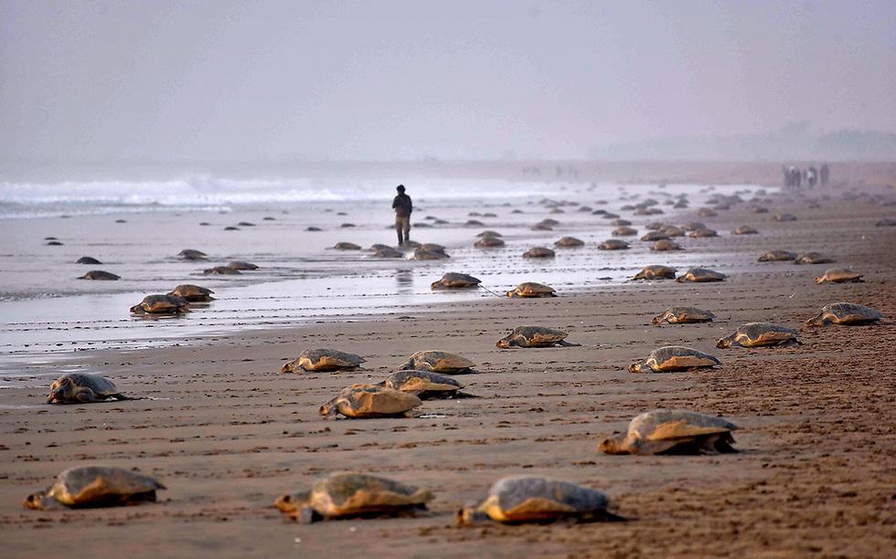 צבי ים חוזרים למים בחוף בהודו (צילום: AFP)