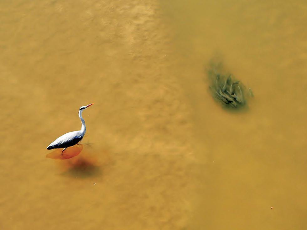להקת דגים מצליחה לחמוק בשלמותה מפני אנפה אפורה (צילום: מיטב אשכנזי)