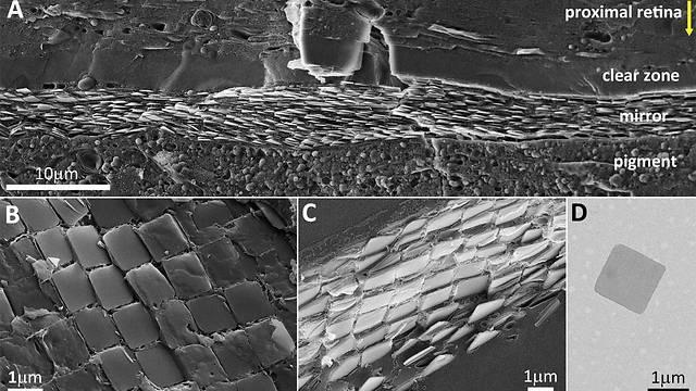 המראה שבעין הסקאלופ כפי שהיא נראית תחת מיקרוסקופ אלקטרונים. מצופה אריחים ריבועיים של גבישי גואנין (צילום: מכון ויצמן למדע) (צילום: מכון ויצמן למדע)