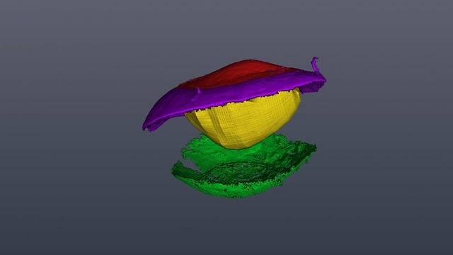 הדמית מיקרו CT של חלל העין. סייעה לשרטט את המסלול של קרן האור בדרך למראה ובחזרה אל הרשתיות (צילום: מכון ויצמן למדע) (צילום: מכון ויצמן למדע)