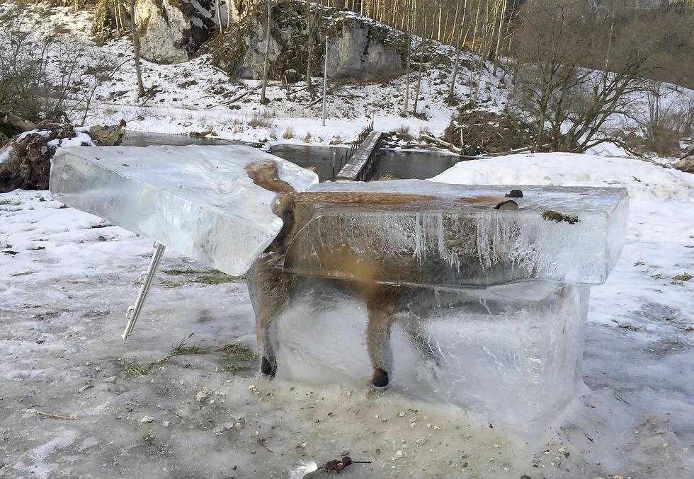 שועל בקוביית קרח, ארבעה ימים אחרי שקפא למוות בנהר הדנובה. גרמניה (צילום: AP) (צילום: AP)