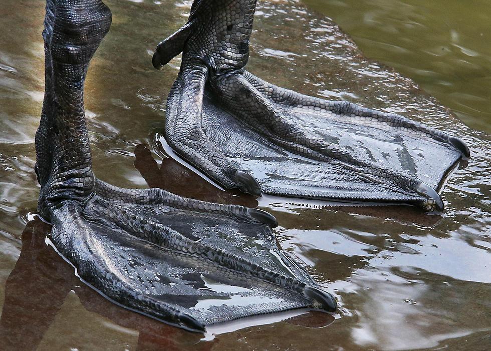 ברווז עומד בנהר בפרנקפורט (צילום: AP) (צילום: AP)