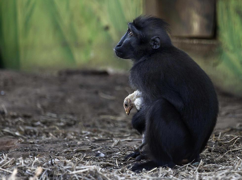 קוף המקוק ניב מהספארי ברמת גן אוחז בגוזל. הצוות סיפר שהשניים בלתי ניתנים להפרדה (צילום: AP) (צילום: AP)