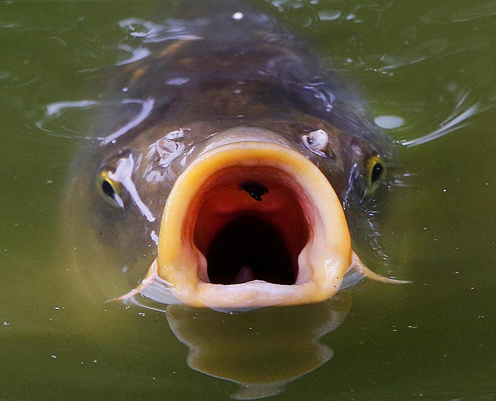 דג קרפיון עולה אל פני המים בפרנקפורט, גרמניה (צילום: AP) (צילום: AP)