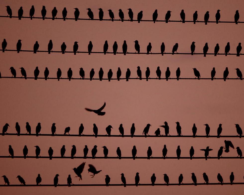 יש מקום לכולן. ציפורים על כבלי חשמל בקנזס סיטי (צילום: AP) (צילום: AP)