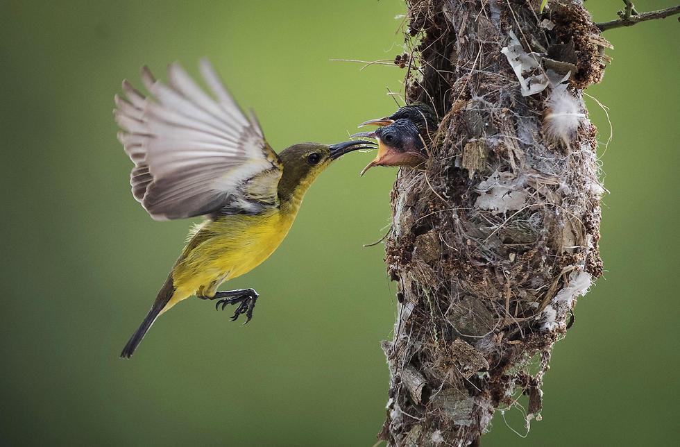 ציפור שיר מאכילה את גוזליה במלזיה (צילום: AP) (צילום: AP)