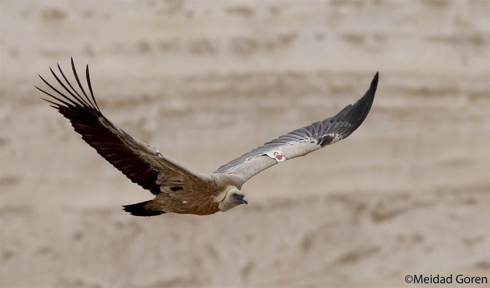 נשר מקראי (צילום: מידד גורן, החברה להגנת הטבע) (צילום: מידד גורן, החברה להגנת הטבע)
