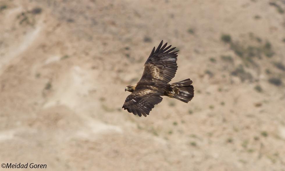 עיט זהוב (צילום: מידד גורן, החברה להגנת הטבע) (צילום: מידד גורן, החברה להגנת הטבע)