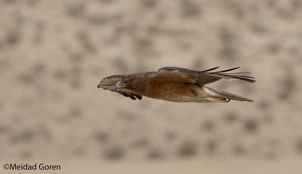 עיט ניצי (צילום: מידד גורן, החברה להגנת הטבע) (צילום: מידד גורן, החברה להגנת הטבע)