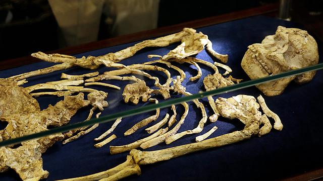 """חיה לפני 3.6 מיליון שנים. """"ליטל פוט"""" (צילום: AP)"""