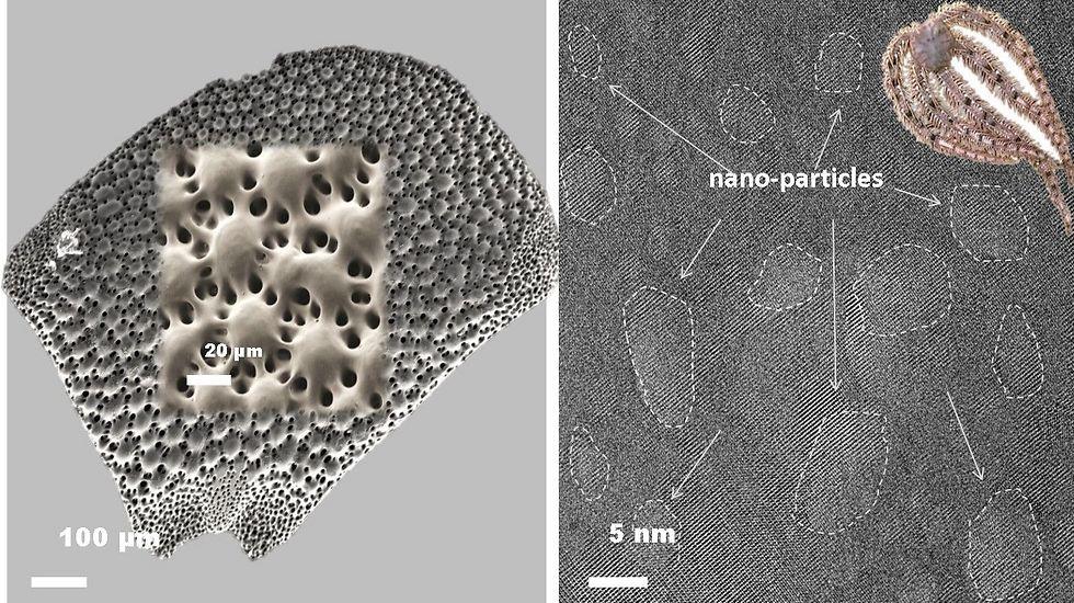 מימין: תמונת מיקרוסקופ אלקטרונים חודר של דגימות דקות שהוכנו מהעדשות שעל זרוע ה- Ophiocoma wendtii. המחקר הנוכחי מגלה את נוכחותם של ננו-חלקיקים עשירים במגנזיום המשתלבים באופן קוהורנטי בגביש הקלציט. משמאל: תמונת מיקרוסקופ אלקטרונים סורק של אחת העדשות שעל זרוע האורגניזם. למרות צורתן העקמומית של העדשות, כל עדשה היא גביש יחיד (צילום : ניצן זוהר, דוברות הטכניון) (צילום : ניצן זוהר, דוברות הטכניון)