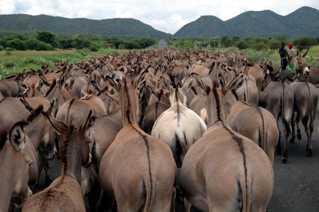 עדר חמורים על הכביש הראשי בעמק האומו (צילום: יריב ואיילת כץ) (צילום: יריב ואיילת כץ)