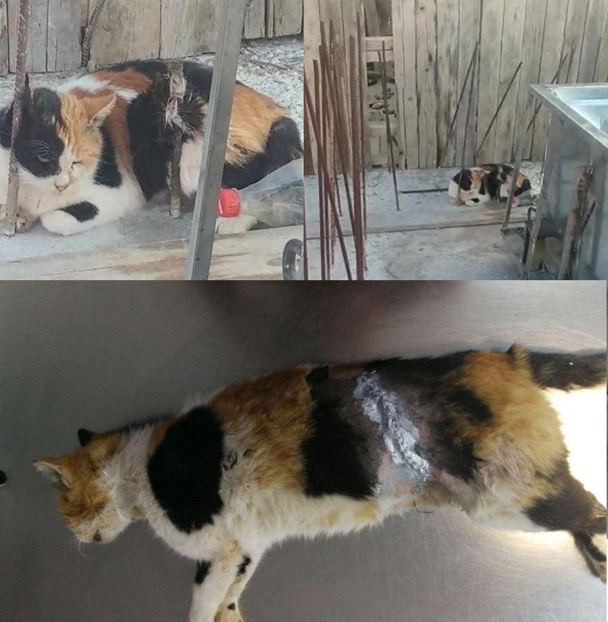 החתולה הפצועה לפני החילוץ (למעלה) ולאחר הניתוח (למטה) (צילום: כבאות והצלה מחוז צפון) (צילום: כבאות והצלה מחוז צפון)
