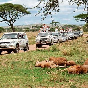 מסע הג'יפים חולף ליד להקת אריות