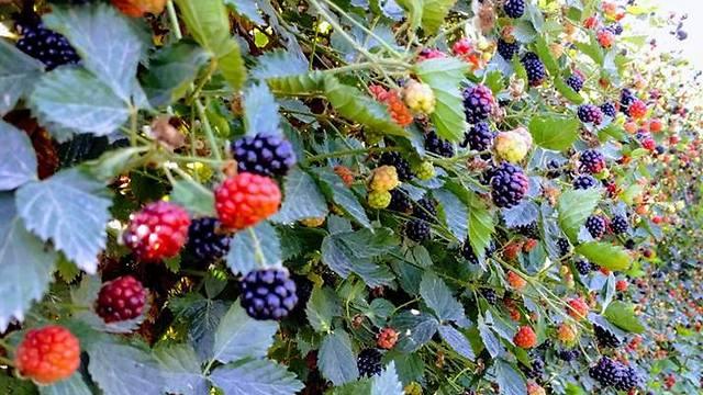 Лесные ягоды. Фото Яэль Лернер