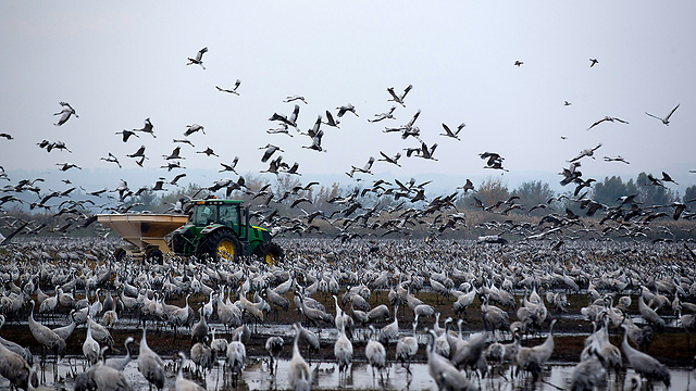 Hula Valley cranes (Photo: EPA)
