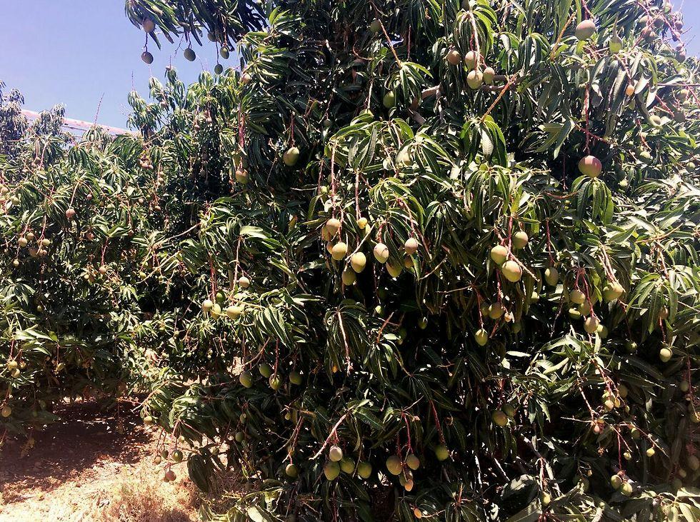 """המנגו יקדים? עץ מנגו בערבה (צילום: יח""""צ) (צילום: יח"""