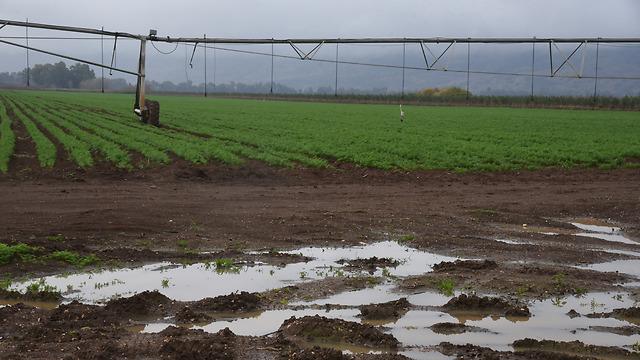 Результат прошедших дождей. Фото: Авияху Шапира (Photo: Avihu Shapiro)