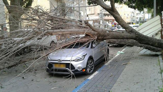 העץ שקרס בראשון לציון (צילום: יואב זיתון) (צילום: יואב זיתון)