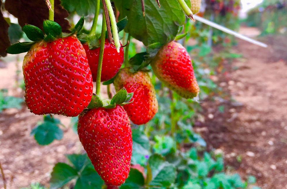 תותים אדומים וטעימים (צילום: יעל לרנר) (צילום: יעל לרנר)