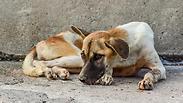 מכת מדינה: הרעל החוקי שהורג מאות כלבים משוטטים