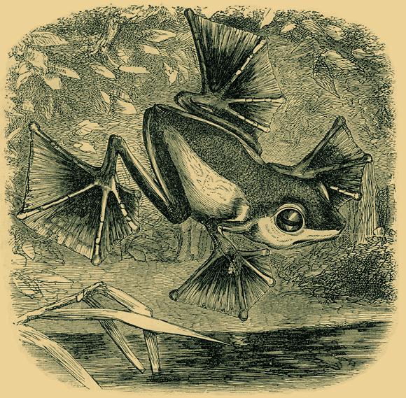 זכה לכבוד ולהכרה בחייו, בין השאר בזכות גילוי וסיווג של מינים רבים. צפרדע מעופפת שגילה וולאס  (צילום: מתוך ויקיפדיה)