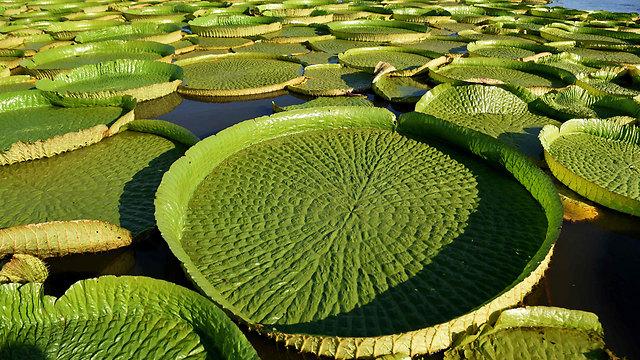 חבצלות המים הענקיות. מאמינים שהן תרופה לאסתמה (צילום: AFP) (צילום: AFP)