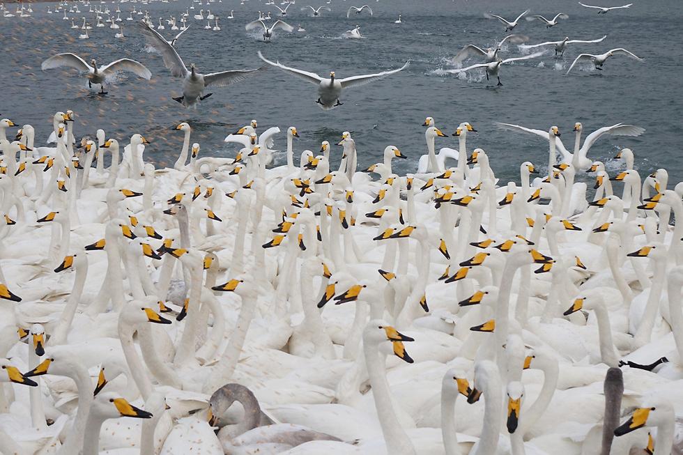 אגם הברבורים בשמורה הלאומית רונגצ'נג שבמחוז שאנדונג, סין (צילום: רויטרס)